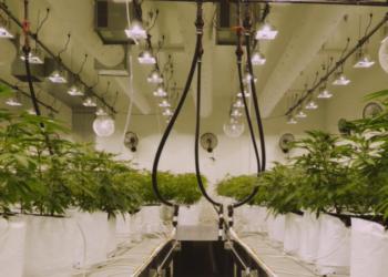 Vai agli articoli Flower Farm, il Ceo Yeates spiega le potenzialità della canapa legale!