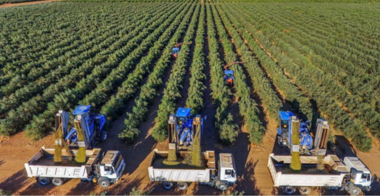 Olive Made in Italy e innovazione: parte la campagna di OliviAmo!